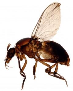 blackfly2