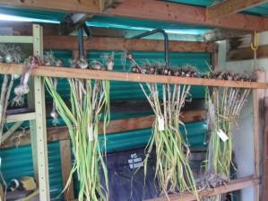 20130727b-14-garlic