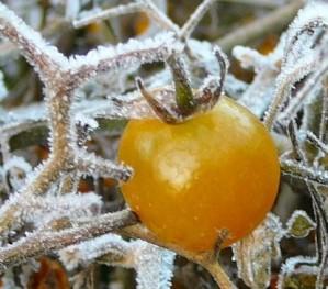 frosttomato