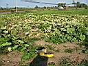 Monster Squash at the Napanee Community Garden