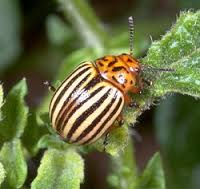 potatobug